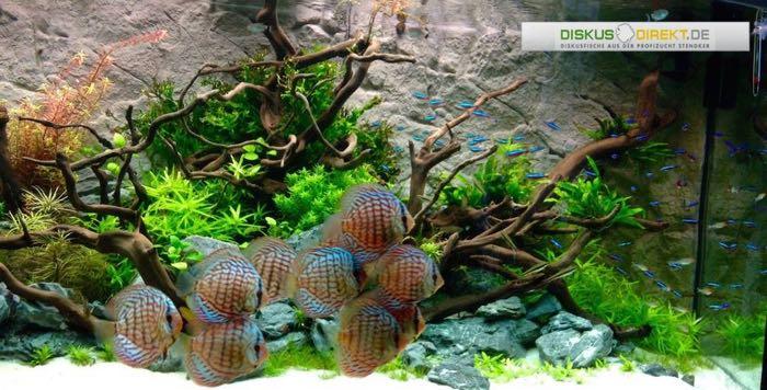 Diskuszucht stendkerdiskusfische kaufen for Diskus aquarium