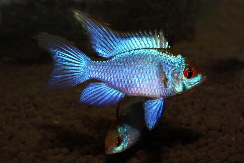 Ramirezi Electric Blue